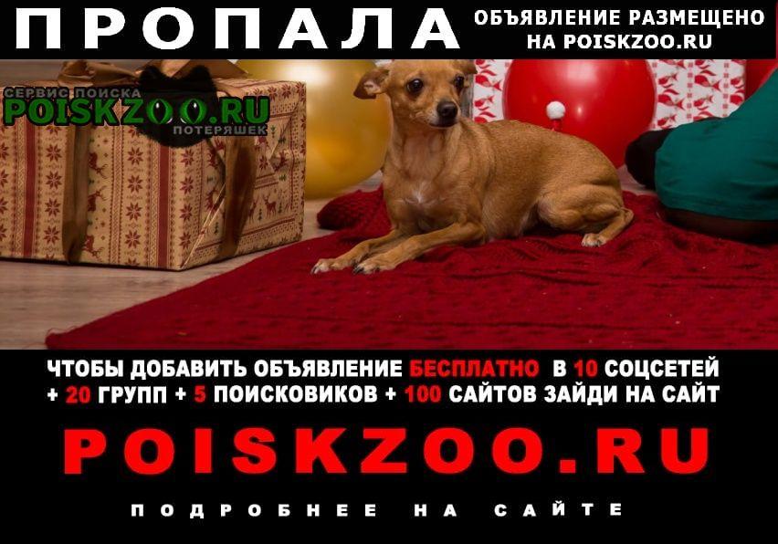 Пропала собака цвет рыжий- тойтерьер Краснодар