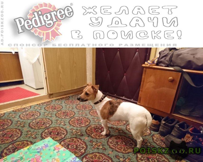 Пропала собака девочка джек рассел помогите   г.Зеленоград