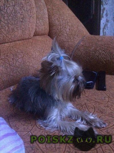 Пропала собака собачка йоркширский терьер г.Тамбов