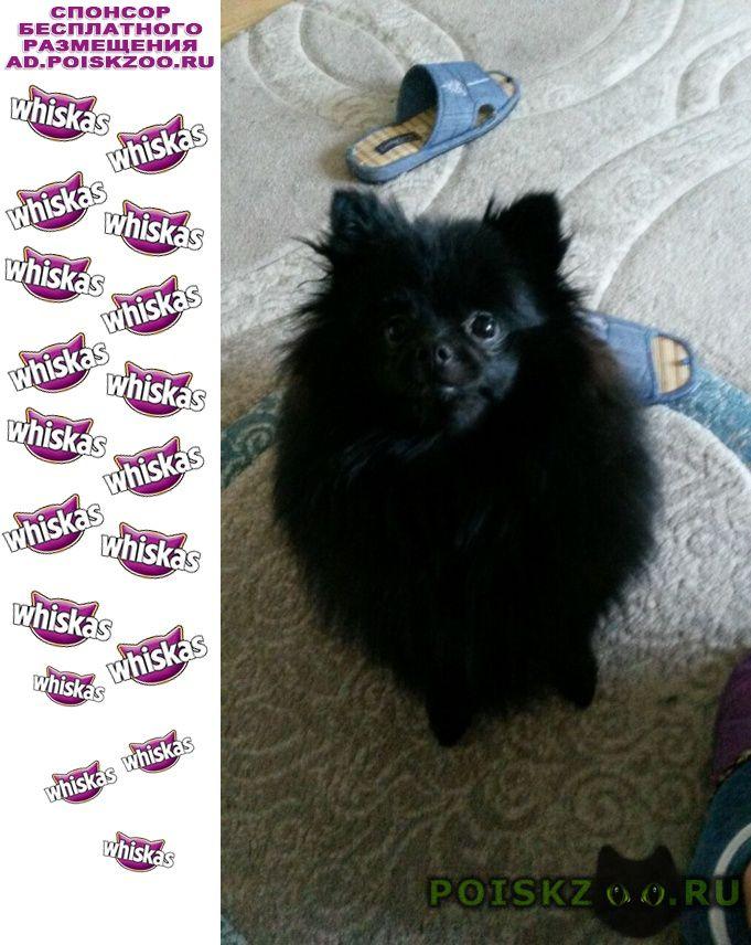Пропала собака черный шпиц г.Хабаровск