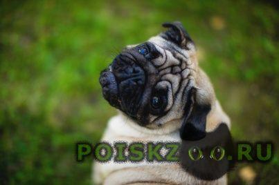 Пропала собака мопс г.Санкт-Петербург