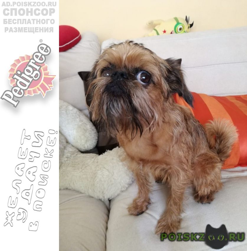 Пропала собака брюссельский грифон, ул шереметьевская г.Москва