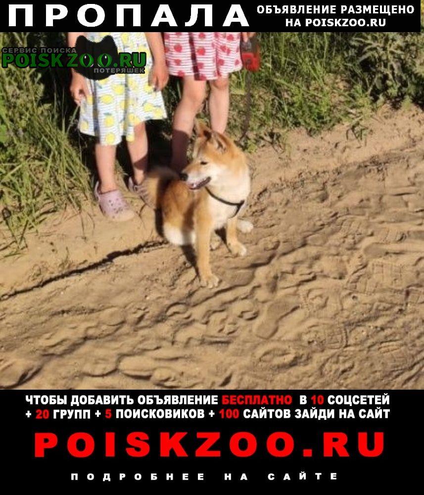 Пропала собака кобель щенок породы сиба-ину г.Бурмакино