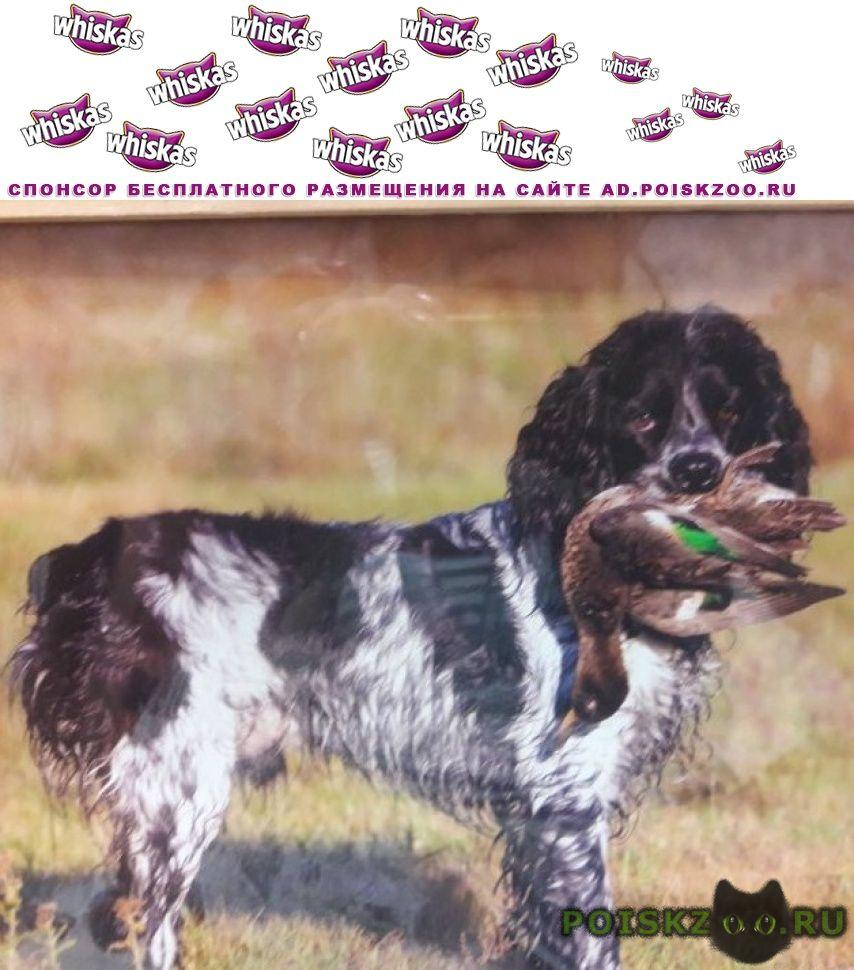 Пропала собака кобель русский коккер-спаниель г.Ангарск