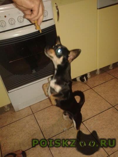 Пропала собака кобель пес метис той-терьер и пинчер г.Дубна