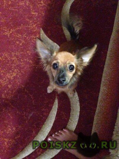 Пропала собака кобель маленькая рыжая собачка г.Краснодар