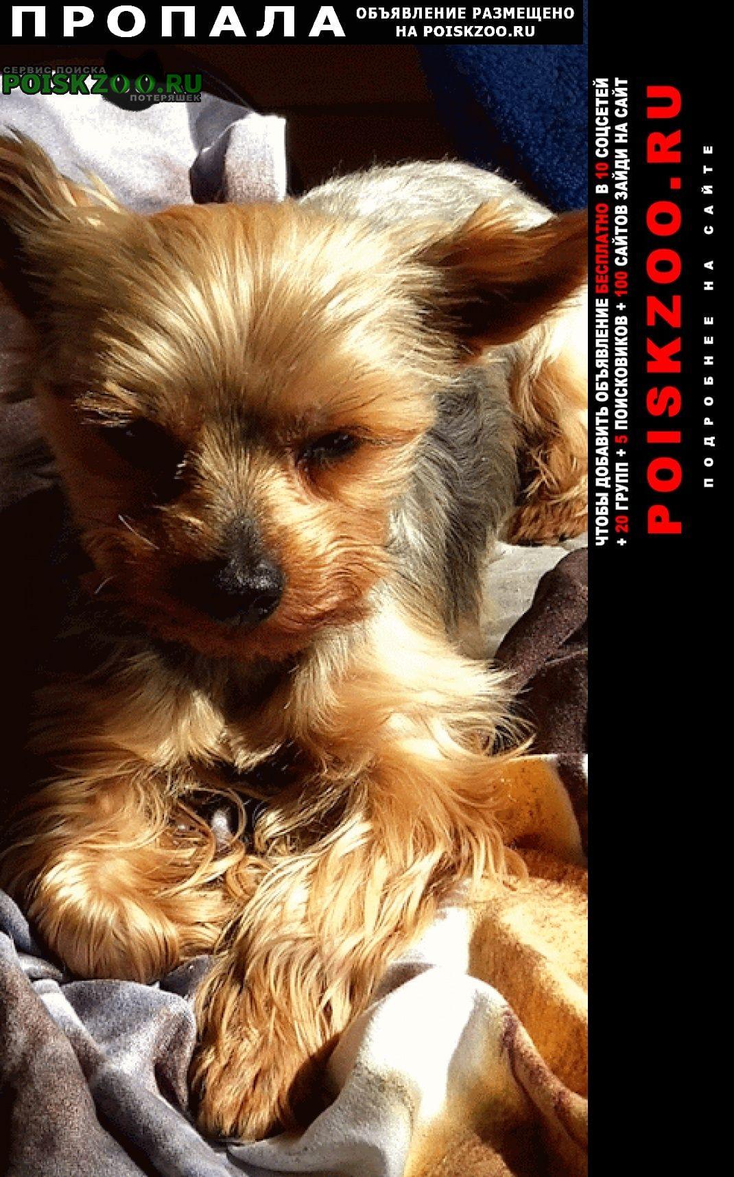 Пропала собака кобель йоркширский терьер Одинцово