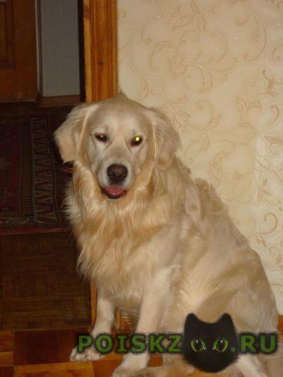 Пропала собака кобель золотистый ретривер г.Смоленск