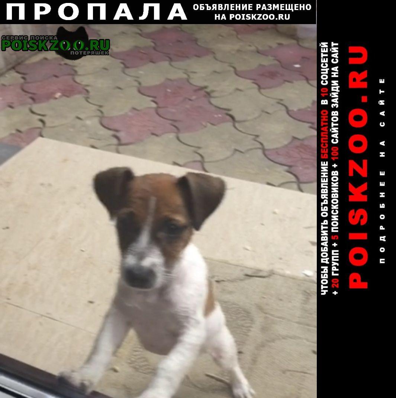 Пропала собака кобель джек рассел Сочи