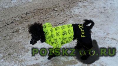 Пропала собака кобель чёрный мини- пудель г.Казань