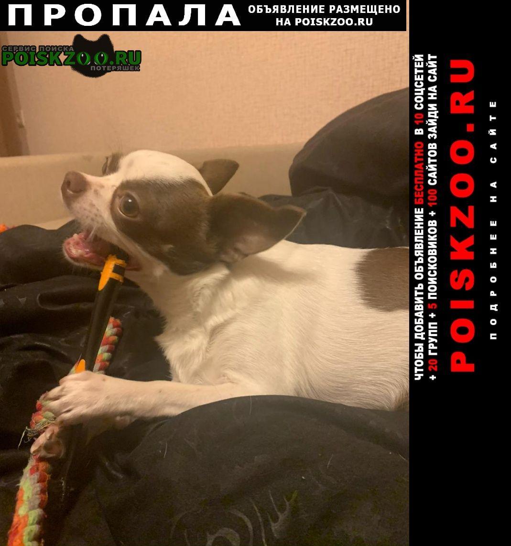 Пропала собака чихуаха Химки