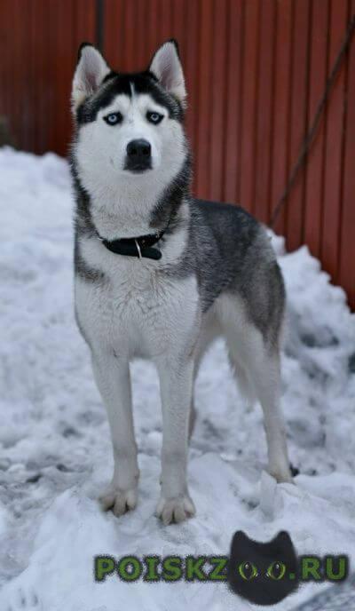 Пропала собака хаски с голубыми глазами г.Подольск