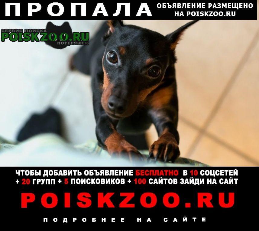 Пропала собака цвергпинчер Санкт-Петербург