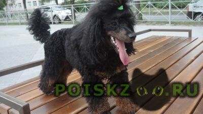Пропала собака кобель карликовый пудель (фантом) г.Новосибирск