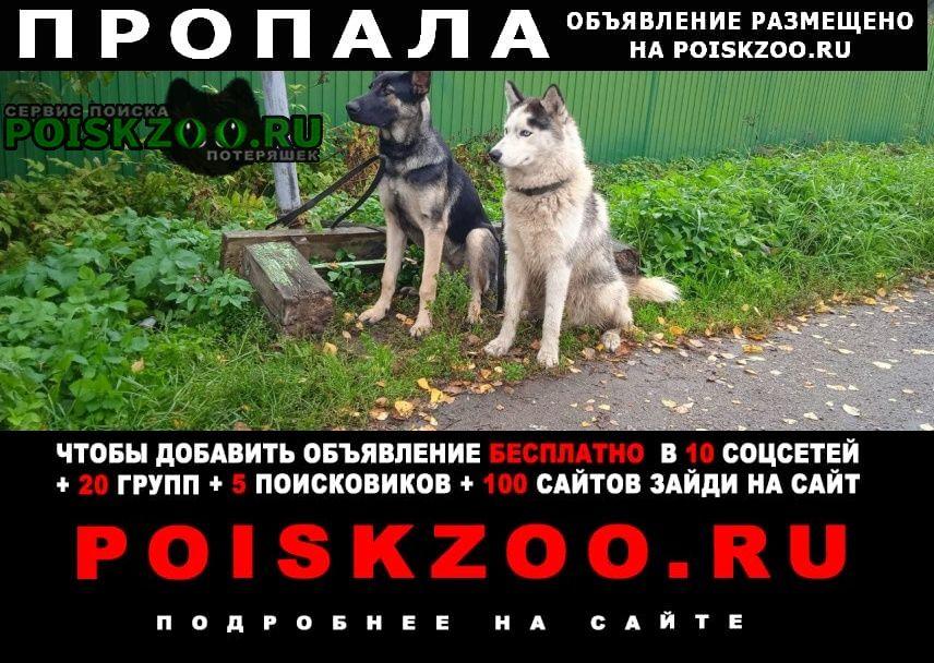 Пропала собака кобель хаски и щенок овчарки Петродворец