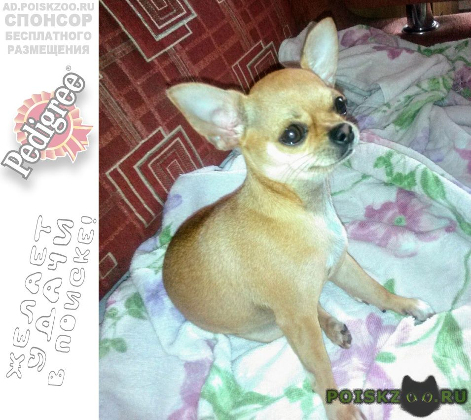 Пропала собака чихуахуа рыжая г.Анапа