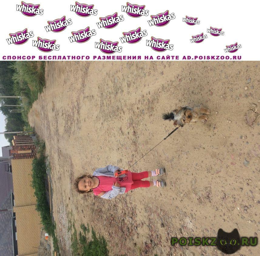 Пропала собака кобель йорик, мальчик в российском г.Аксай (Ростовская обл.)