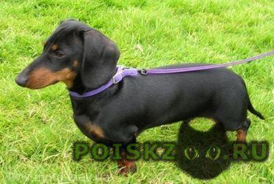Пропала собака такса г.Новочеркасск