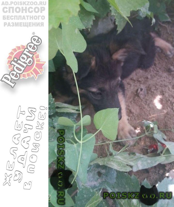 Пропала собака щенок, помесь овчарки г.Кзылорда