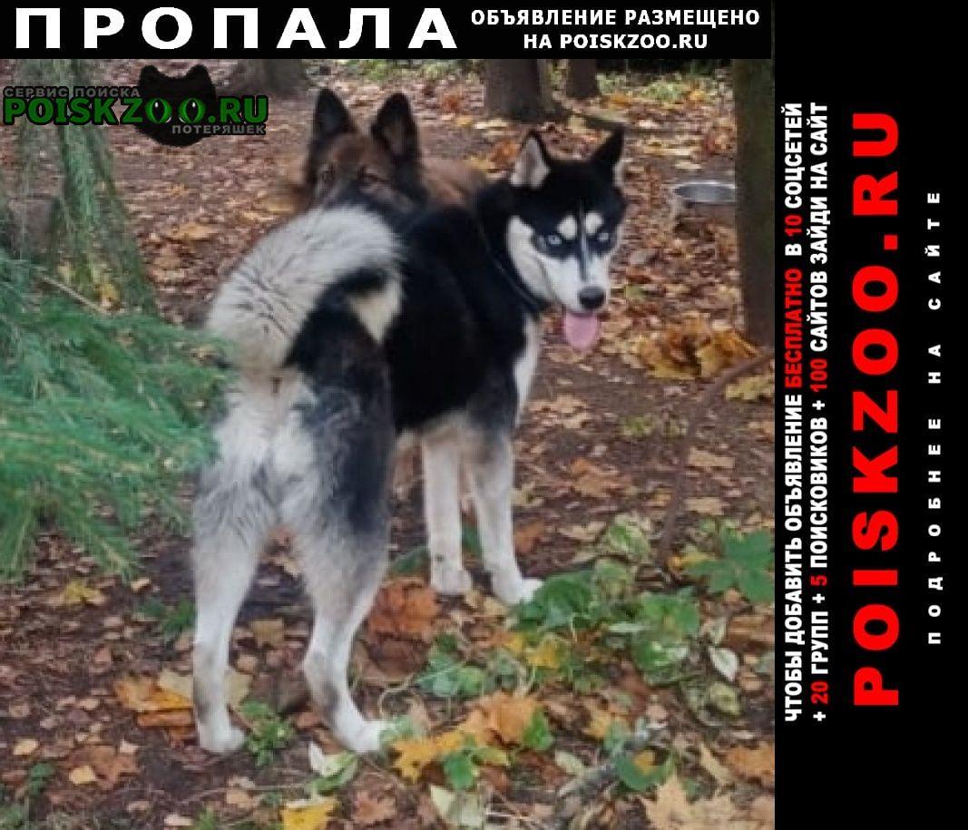 Пропала собака хаски лорд Москва