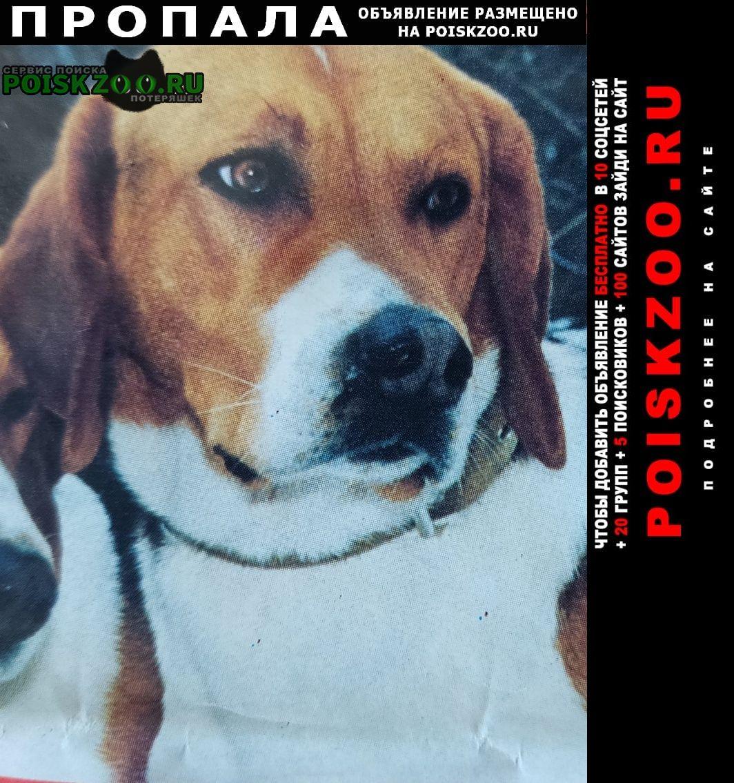 Пропала собака кобель порода русско-пегая гончая Зеленоград