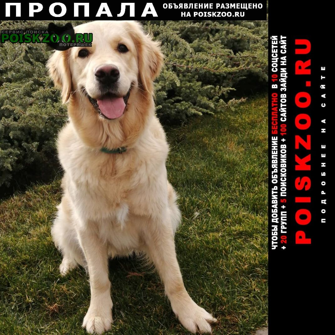 Пропала собака голден ретривер Москва