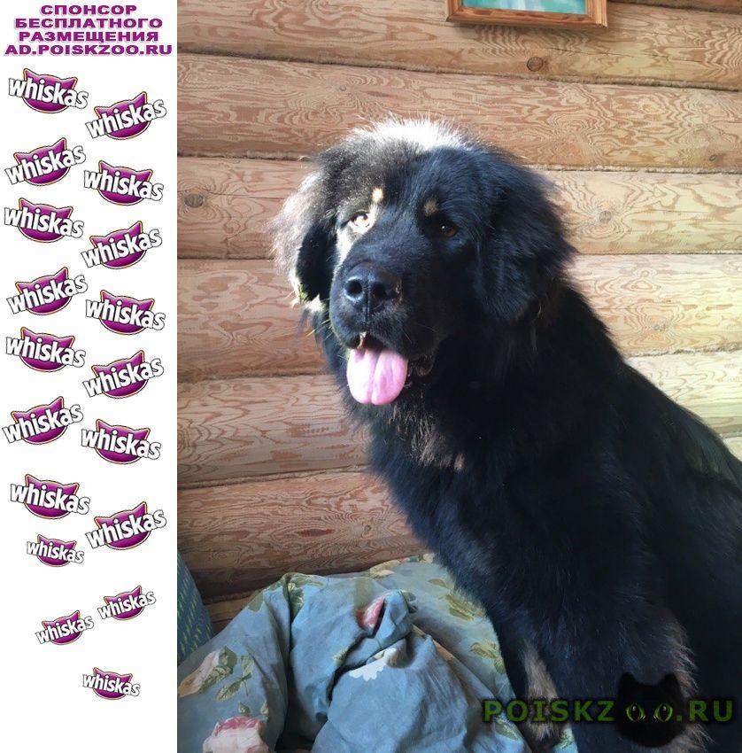 Пропала собака щенок г.Большое Пикино