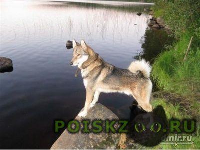 Пропала собака кобель породы лайка г.Балашиха