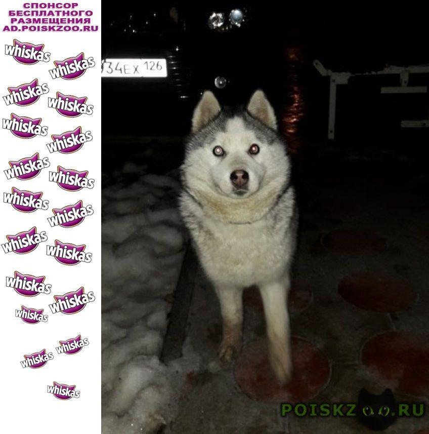 Пропала собака серо-белая хаски г.Зеленокумск