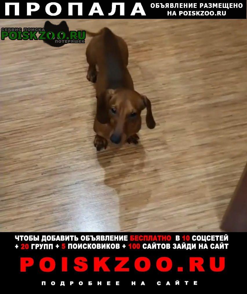 Пропала собака кобель такса Красноярск