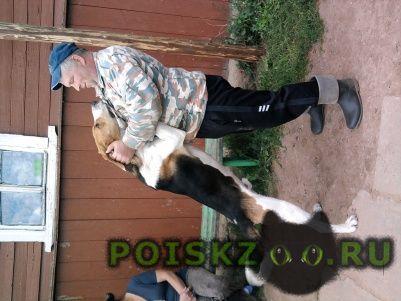 Пропала собака кобель кабель русский пегий г.Остров