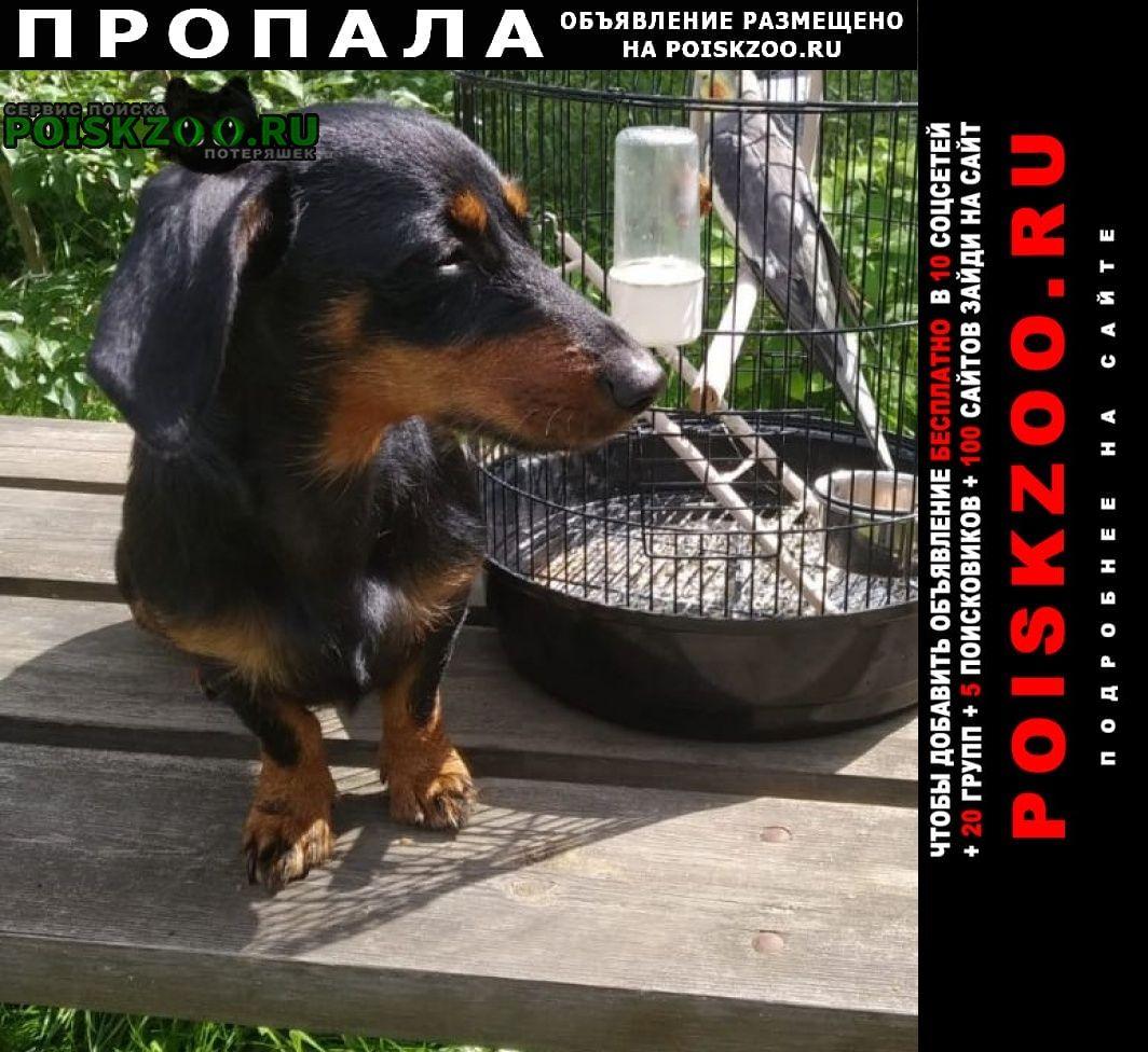 Пропала собака такса Ступино