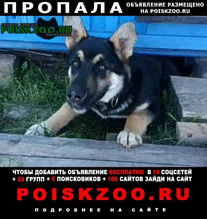 Пропала собака кобель щенок восточно-европейской овчарки Клин