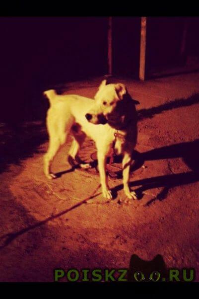Пропала собака кобель алабай 1 год (среднеазиатская) г.Краснодар