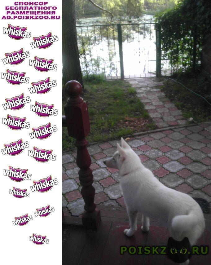 Пропала собака кобель белая лайка с красным ошейником г.Ивантеевка (Московская обл.)