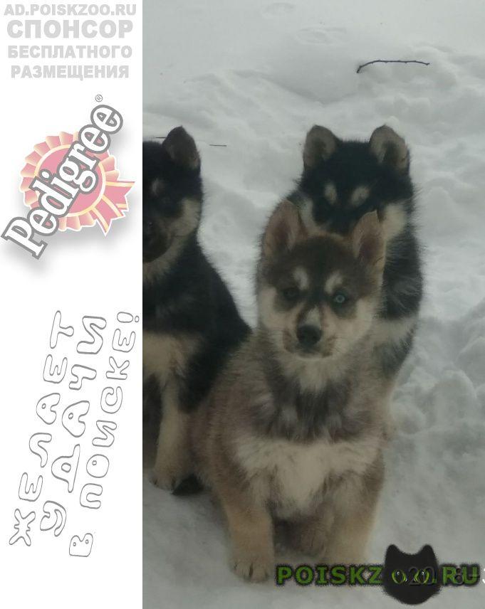 Пропала собака кобель два щенка г.Кострома