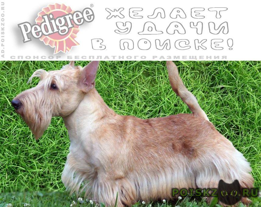 Пропала собака кобель скотч-терьер пшеничного окраса г.Икша