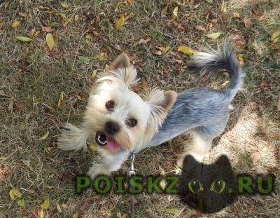 Пропала собака кобель йоркширский терьер г.Краснодар