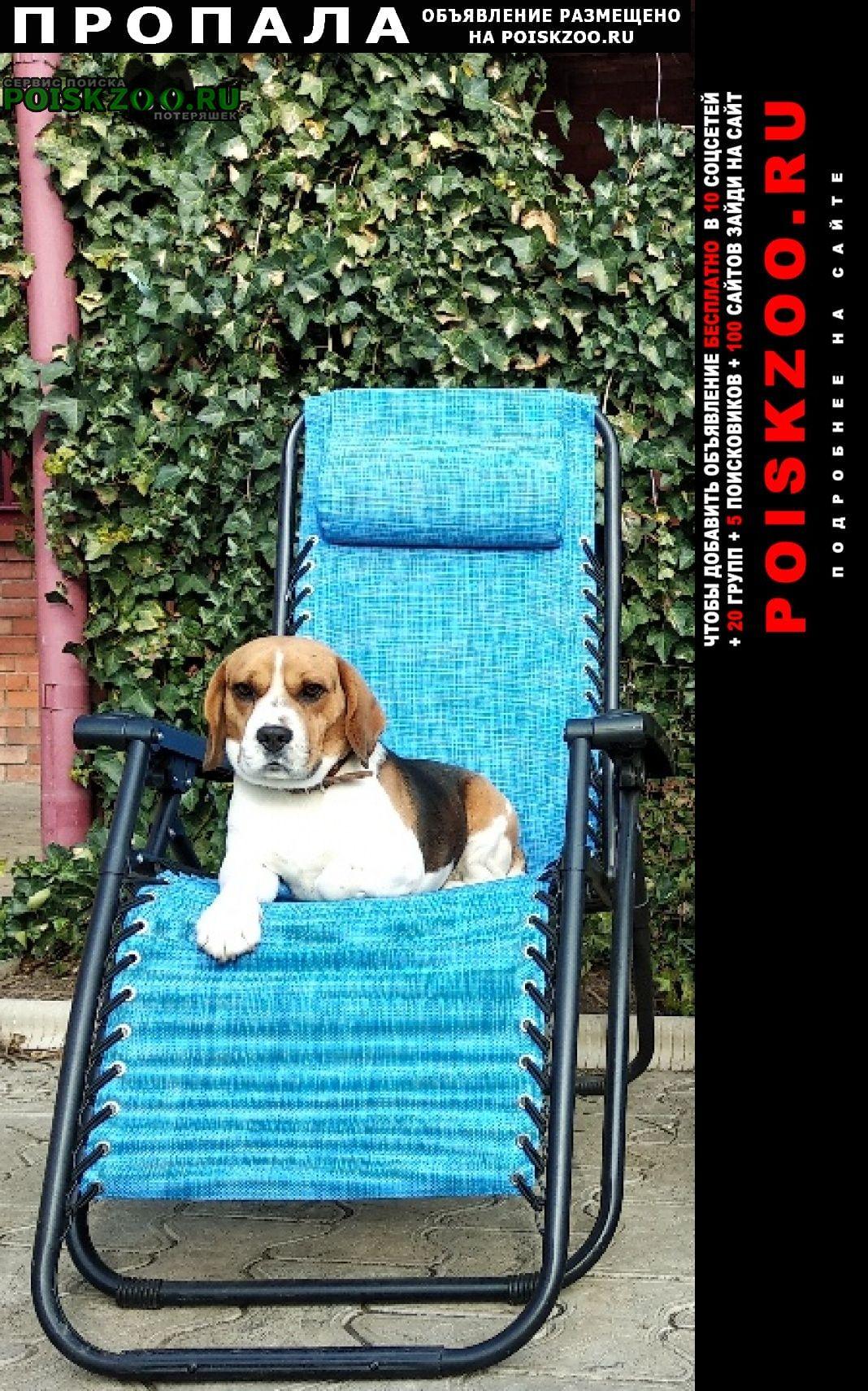 Пропала собака бигль, с.успенское, краснодарский край Армавир