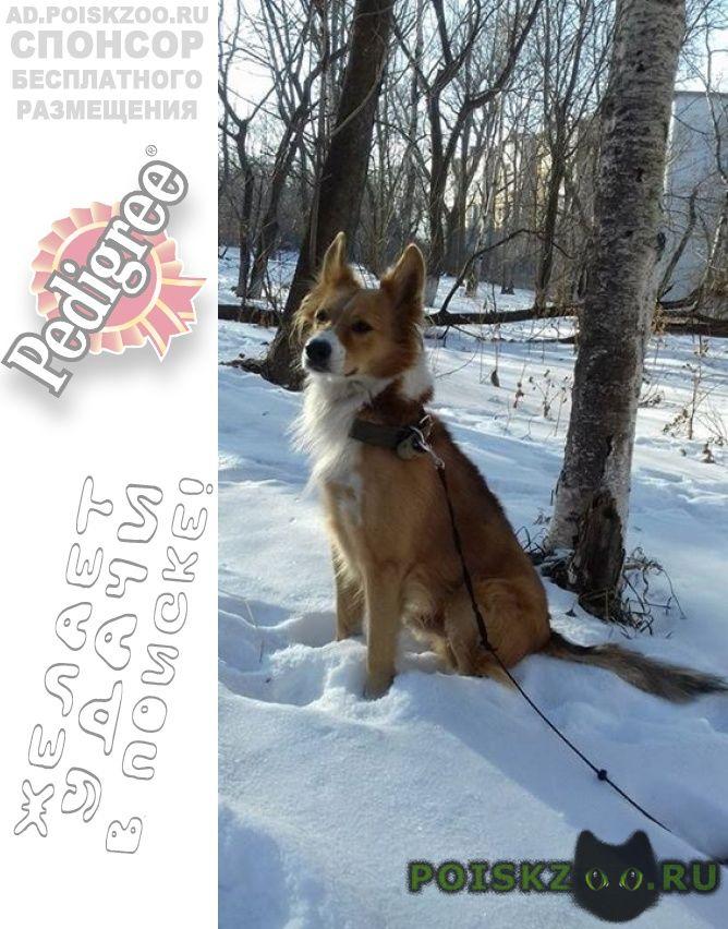 Пропала собака кобель рыжий, ул енисейская г.Владивосток