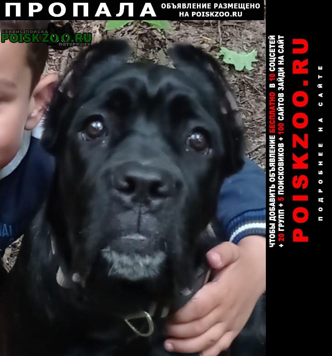 Пропала собака убежала кане корса Видное