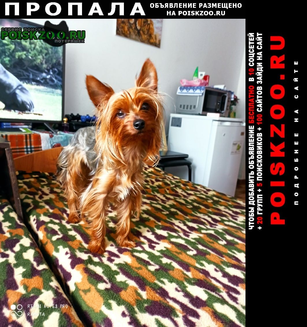Пропала собака йоркширский терьер Владивосток