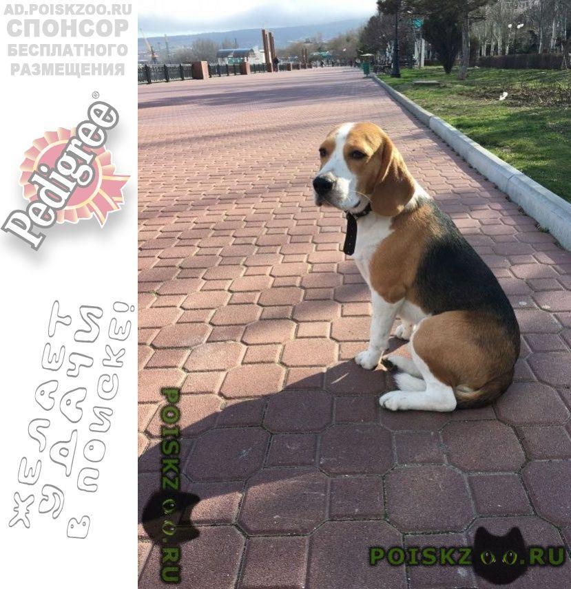 Пропала собака кобель бигль г.Феодосия