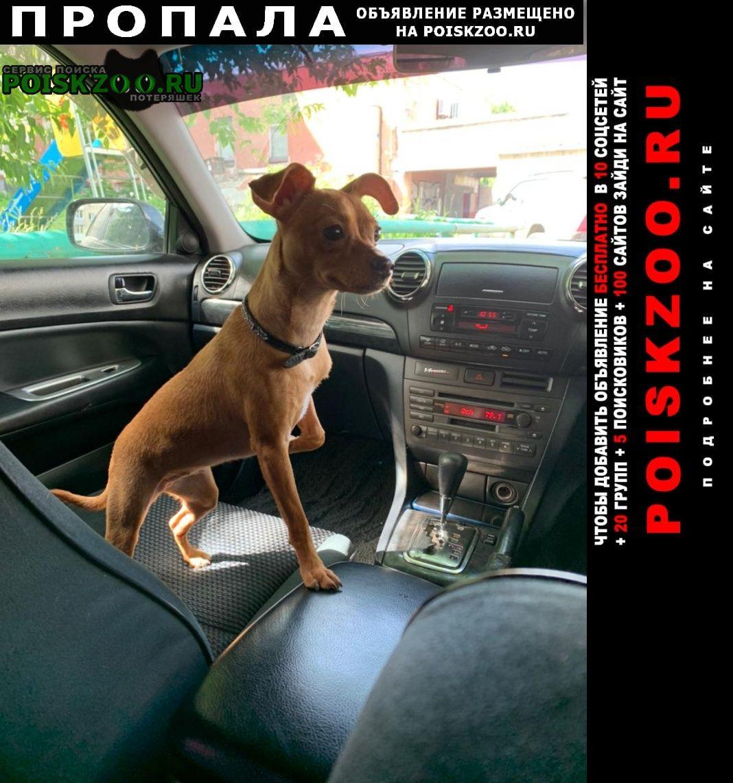 Пропала собака той терьер Новосибирск