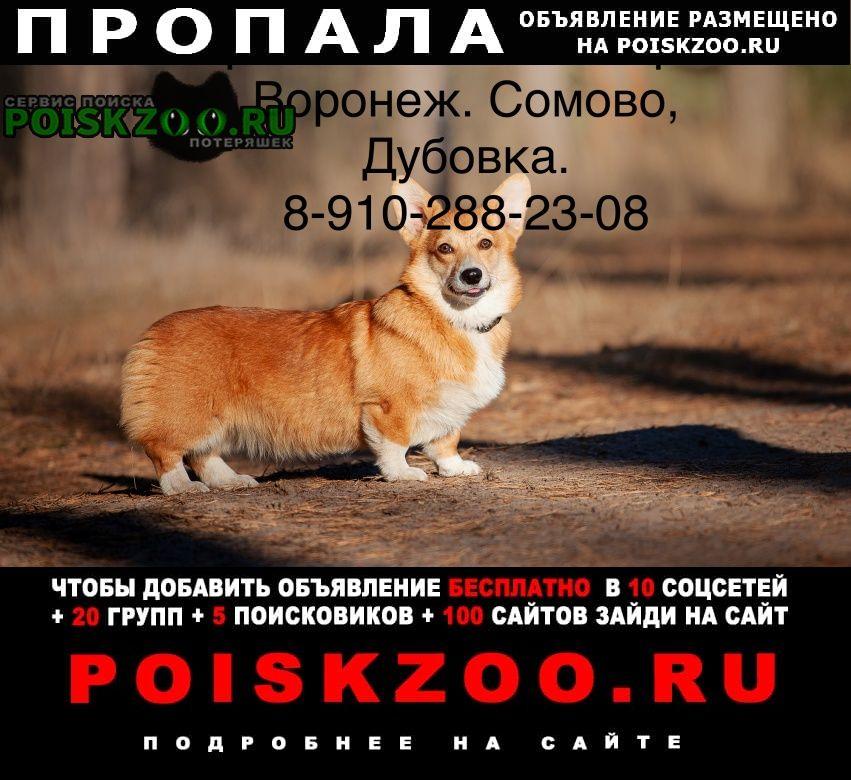 Пропала собака вельш корги. Воронеж