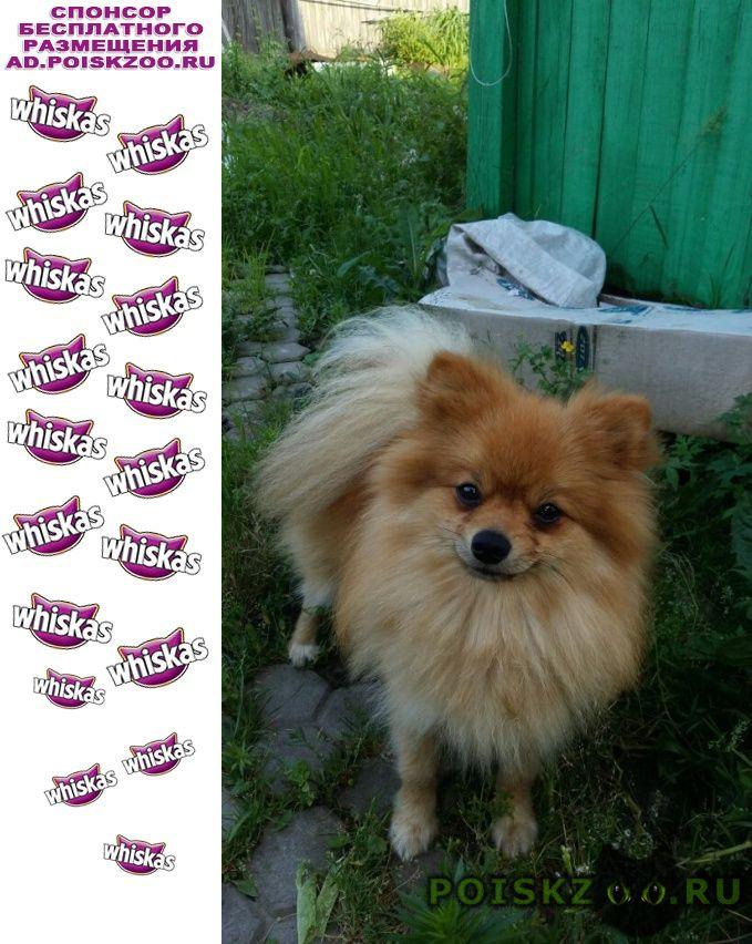 Пропала собака кобель шпиц г.Хабаровск