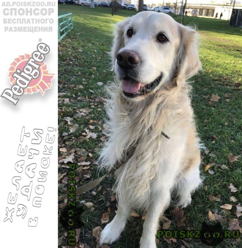 Пропала собака кобель ретривер г.Москва