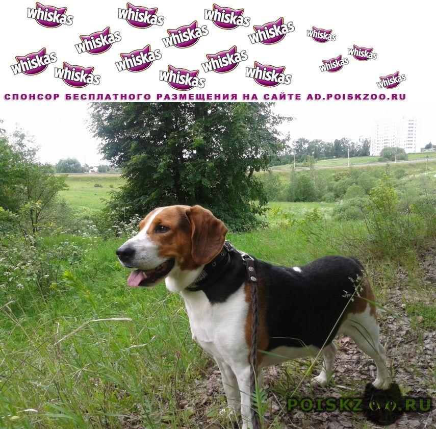 Пропала собака кобель эстонская гончая г.Тула
