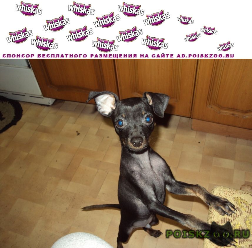 Пропала собака кобель той-терьер 3г г.Климовск