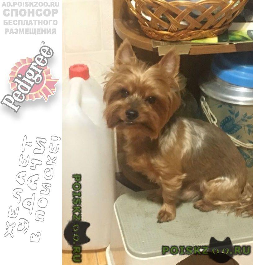Пропала собака кобель йорк г.Серпухов